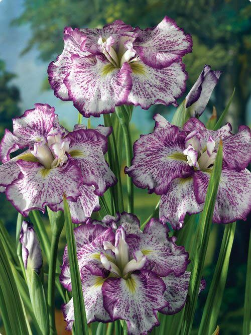 Freckled Geisha Japanese Iris - Irises are my favorite flowers :)