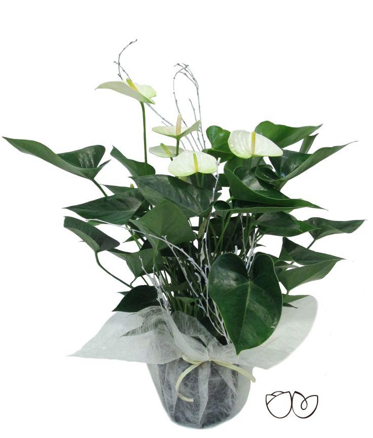 *Planta Anthurium* Adorna tu casa con esta bonita planta decorativa de interior de Anthurium. O regalalá, encantará por su elegancia y viveza y además porque es delarga duración.