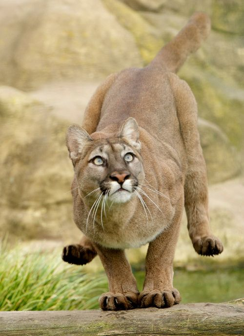 ☀Safe Landing …Puma..    By lollipoplollipop@home