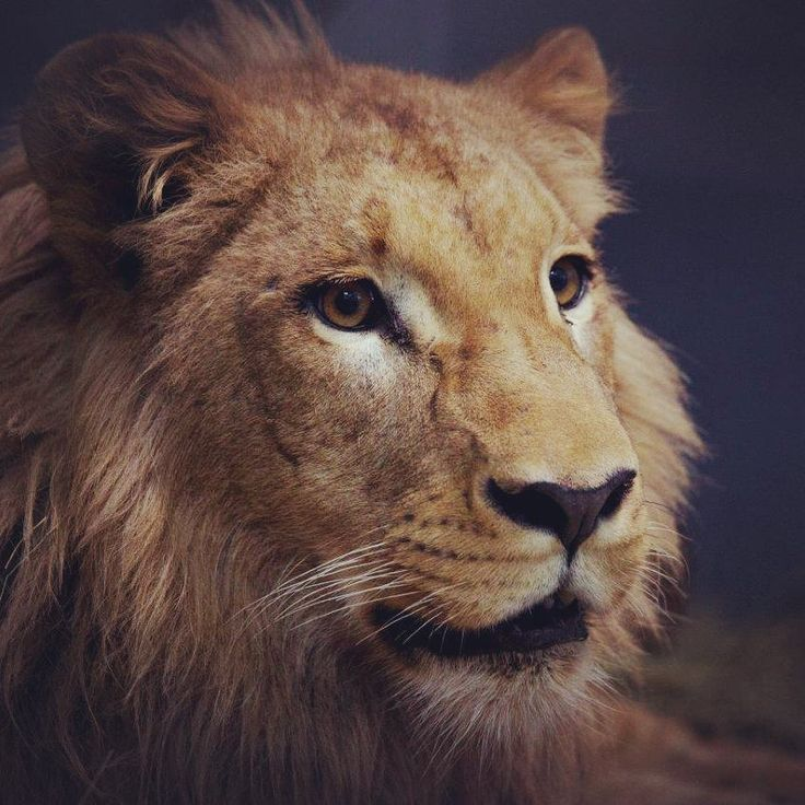 """Simba is about to turn 2 years old!! Born on August 15th, 2015 in Lisbon, this beautiful African lion belongs to an endangered subspecies from Angola.  On April 28th, Simba traveled from Portugal to Tenerife to start a new life in Loro Parque ... Would you like to know more about the animal that reigns in """"The Lion's Kingdom""""? Then stay tuned to our social networks, because we will tell you many curiosities about him ;) Simba ¡pronto cumplirá dos años! Nacido el 15 de agosto de 2015 en…"""