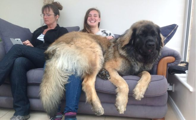 Glorious Leonberger doggo 100% made for cuddles and floofs