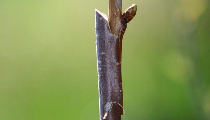 Выращивание дерева вишни и уход: когда созреет, прививки, подкормки