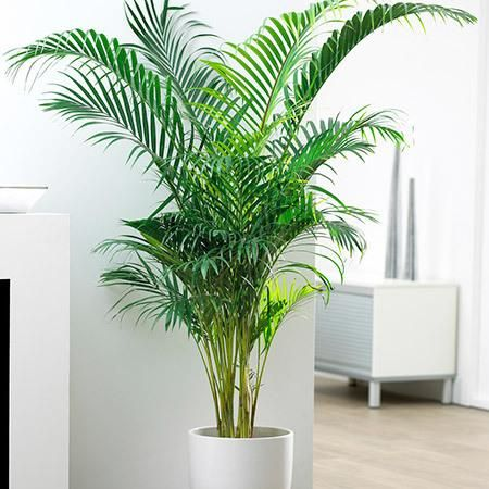 The World's Most Popular Indoor Palm - Areca Palms boldly go further up north than any other palms have before because they thrive in pots and low light conditions. If you live outside of the Areca Palm's recommended growing zones 9 – 11 plant your palms in containers and bring them indoors during the colder months. With...