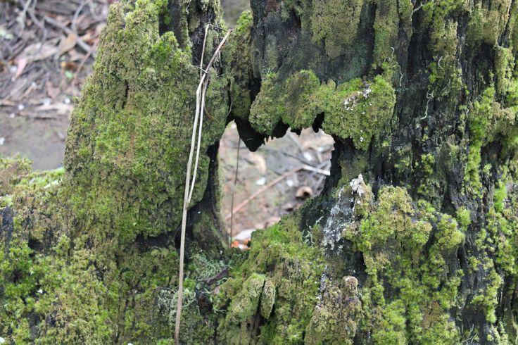 Moss covered tree stump, Masons Falls, Victoria, Australia.