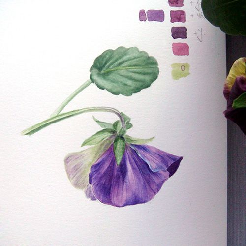 Watercolour sketch of Viola tricolor var. hortensis (pansy) - by Alina Drăguceanu