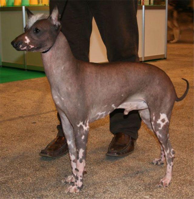 Peruvian Inca Orchid Breed   Dog Whisperer Cesar Millan