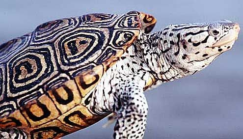 17 best images about reptiles i 39 ve seen in the wild on pinterest box turtles key largo. Black Bedroom Furniture Sets. Home Design Ideas