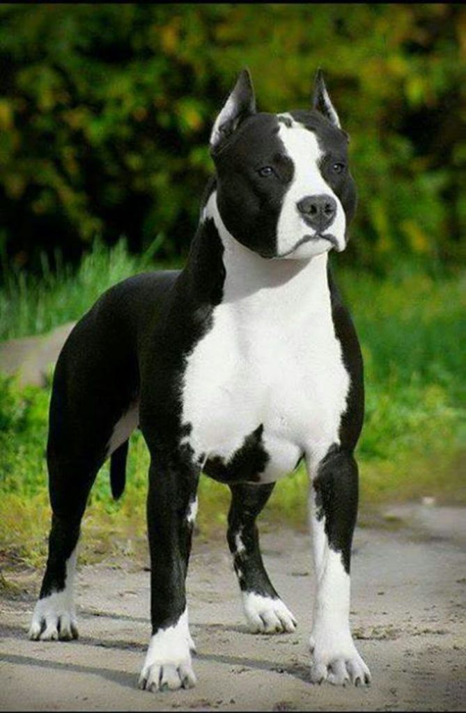 10 Best American Staffordshire Terrier Names Pitbull Terrier
