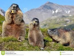 Výsledok vyhľadávania obrázkov pre dopyt marmota marmota