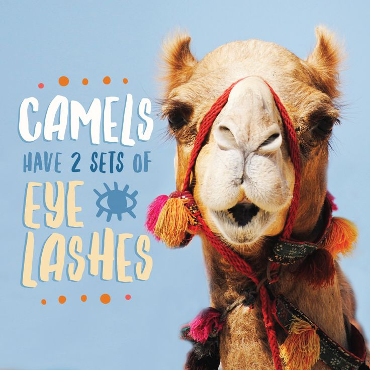 did you know that camels have three eyelids two of which have sets of eye