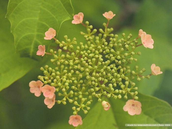 Hydrangea sp, Wild Hydrangea Flower   Picture   33