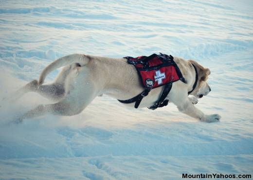 Avalanche Rescue Dogs    power