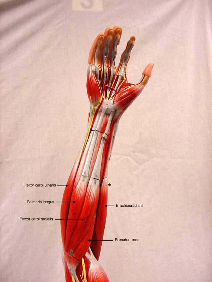 Anatomy Physiology Shs 310 Exam 1 At Arizona State: 18 Best Muscle Models Images On Pinterest