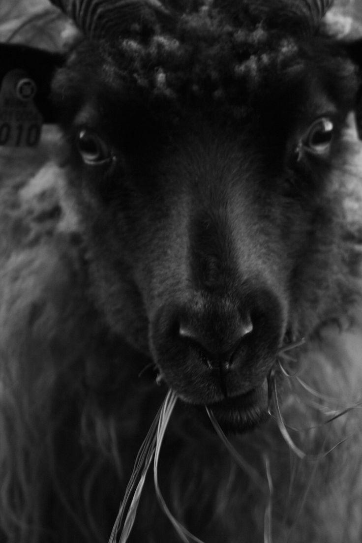 .Bars Bars, Royal Wool, 1 024 1 536 Pixel, Baa Black, Charlotte Mårland, Black Sheep Lol, Black Beautiful, Black Sheep Faces, Charlottemarland Jpg