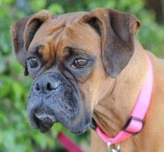 JILLIAN is an adoptable Boxer Dog in Los Angeles, CA. Jillian is a gorgeous fawn female boxer, 5 or 6 years old, that was turned in to a high kill shelter by her owner a couple weeks ago. Jillian was ...