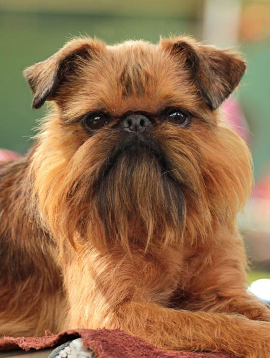 Oh, my... Brussels Griffon / Griffon Bruxellois
