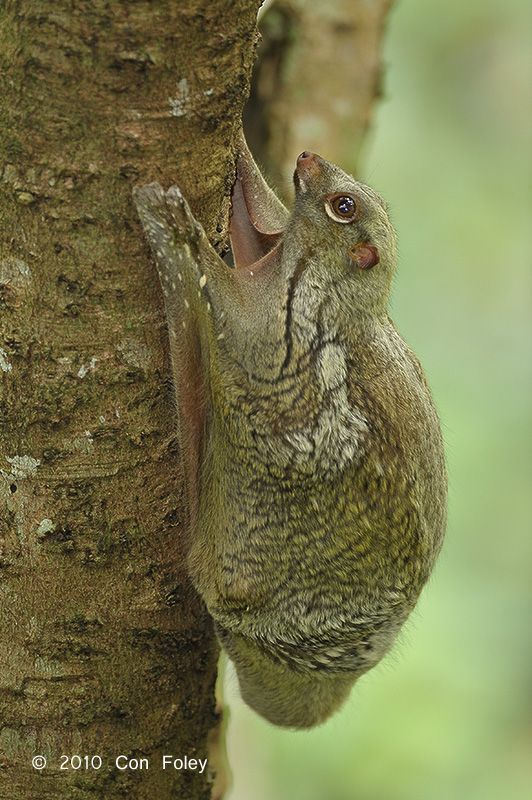 The Sunda flying lemur (Galeopterus variegatus), also known as the Malayan flying lemur or Malayan colugo, is a species of colugo.
