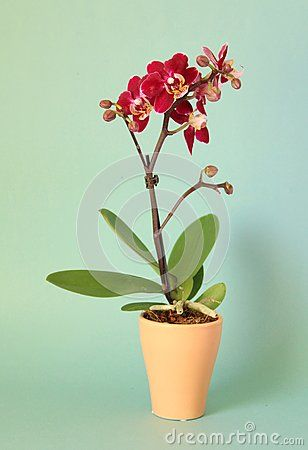 Beautiful red orchid withe blue background
