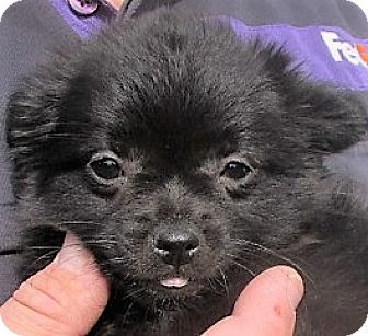 Germantown, MD - Pomeranian/Chihuahua Mix. Meet Emerald, a puppy for adoption. http://www.adoptapet.com/pet/16990764-germantown-maryland-pomeranian-mix