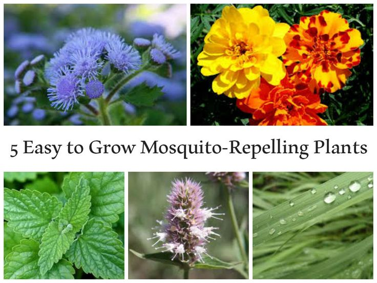5 easy to grow mosquito repelling plants outdoor ideas