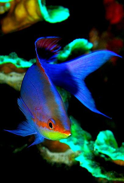 Anthias--Cool fishy he is neon!