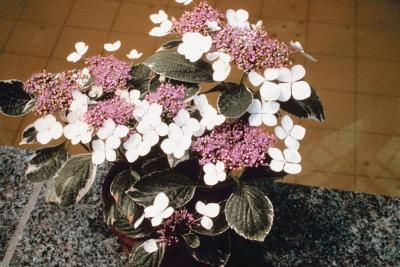 How long do potted hydrangeas last pots and hydrangeas - Care potted hydrangea ...