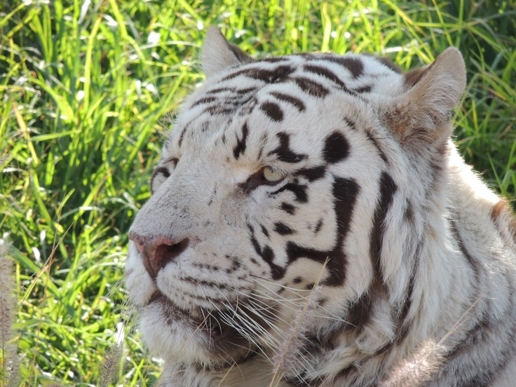 White Tiger... BEAUTIFULL!!!