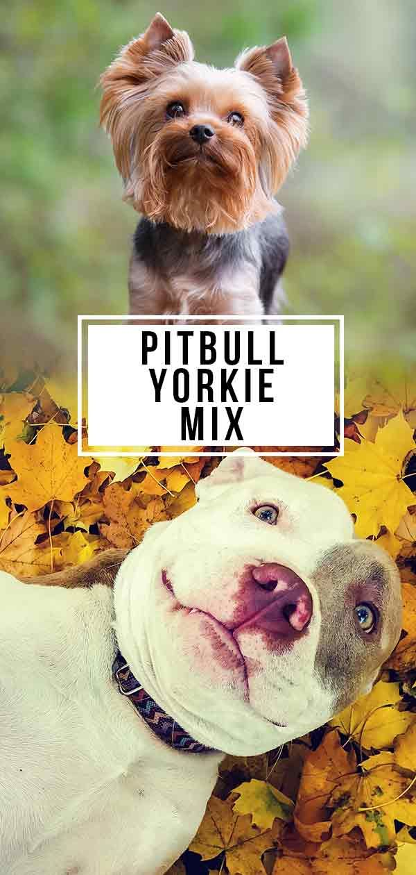 Your Pitbull Yorkie Mix Is This Hybrid Dog Right For You