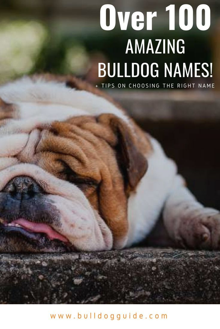 Over 100 Amazing Bulldog Names Tips On Choosing The Right Name