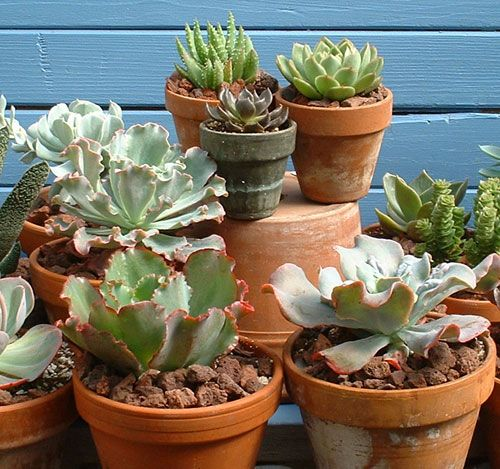 Echeveria hybrids in a mixed succulent collection - the terracotta pots are perfectly suited to succulents; the porous clay allows air exchange with the roots, and drains quickly to prevent root rot, as well as being heavy enough to counteract tipping over of those really big plants.