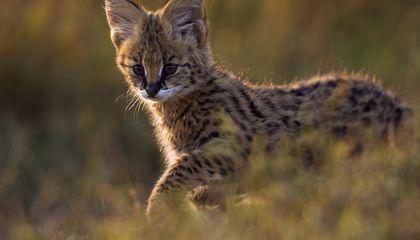 A serval kitten.