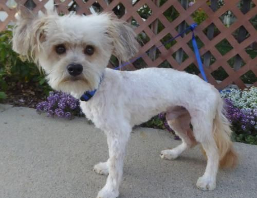 Kylie BB is an adoptable Poodle searching for a forever family near Shoreline, WA. Use Petfinder to find adoptable pets in your area.