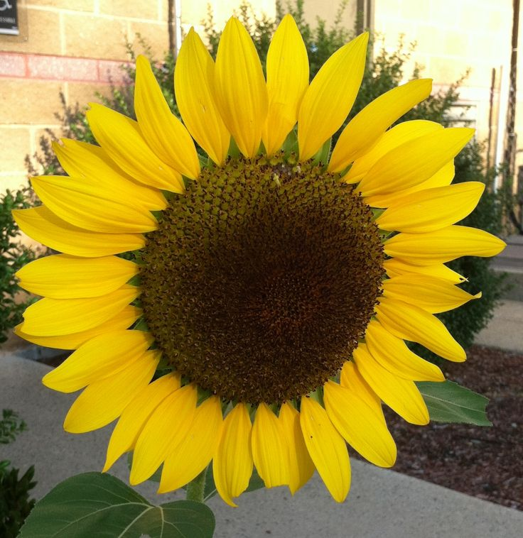 Who doesn't love a sunflower?