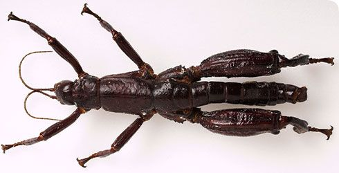 Dryococelus australis, Lord Howe stick insect (nhm, 2013)