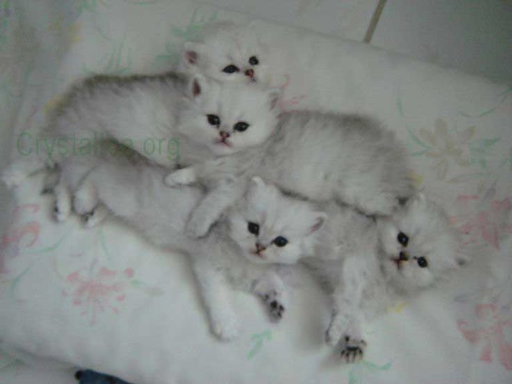 White persian cat for sale houston tx