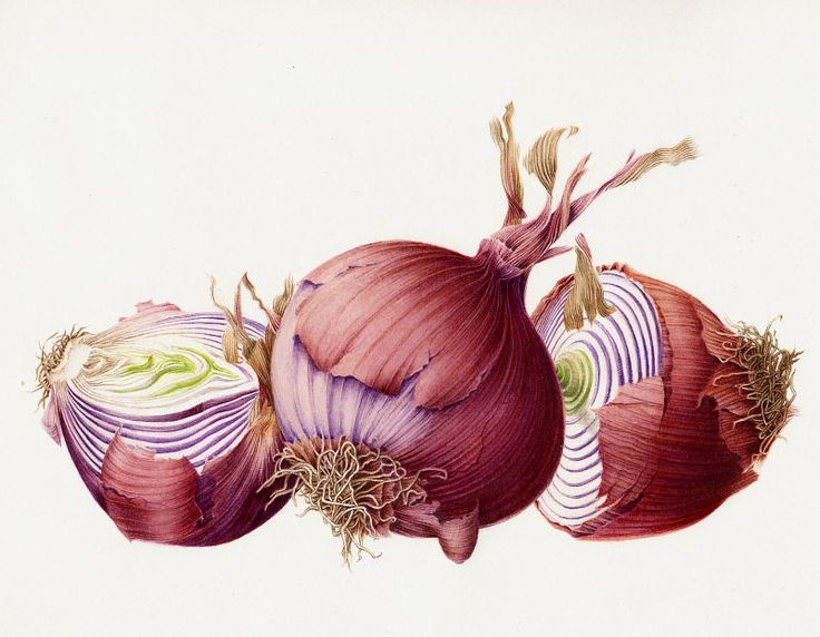 botanical illustration onion