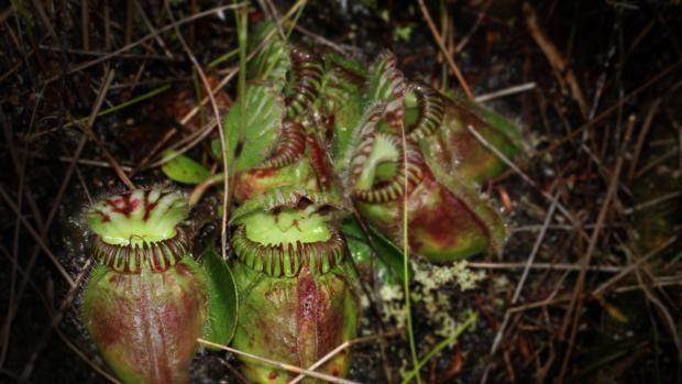 ¿Por qué a las plantas carnívoras les gusta la carne? Contemplar una planta carnívora en acción es una de esos pequeños espectáculos de la naturaleza que alguien con un mínimo de curiosidad no puede ... http://sientemendoza.com/2017/02/07/por-que-a-las-plantas-carnivoras-les-gusta-la-carne/