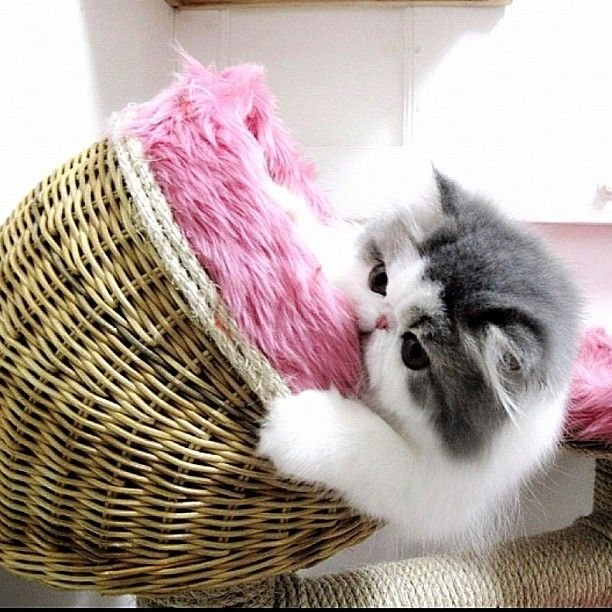 Meet Hope, a Persian cat