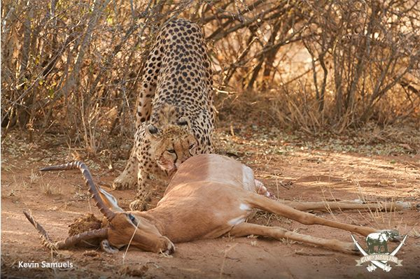 cheetah with a kill