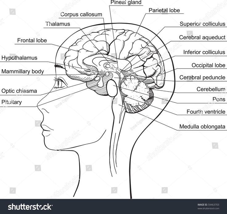 7 best Brain images on Pinterest   Brain anatomy, The brain and ...