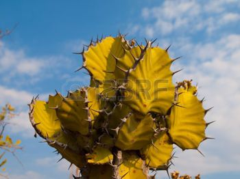 spurge plant: Detailed view of typical namibian cactus (euphorbia cactus)