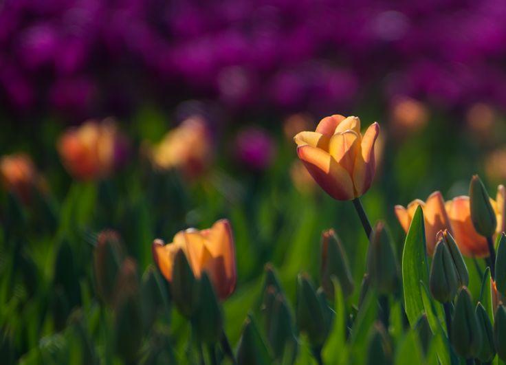 Tulips from Tulip Garden Seattle USA