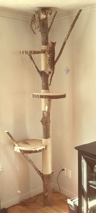 Cat tree bengal