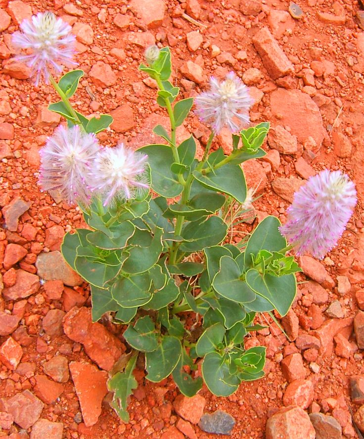 The colours of nature are magnificent. We captured these beautiful wildflowers in the desert of inland lakes in Central Australia after the rains and wildflower blooms. Rare wildflowers and their contrast of colours brings much inspiration to our aboriginal artists.