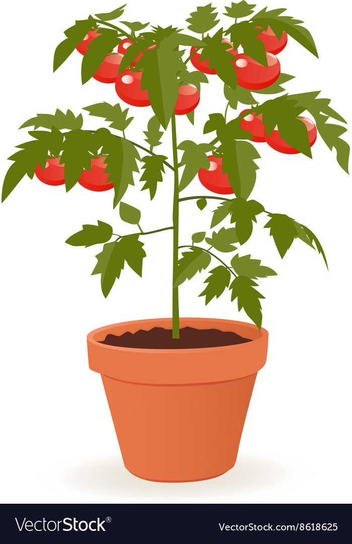 Tomato Plant Royalty Free Vector Image Vectorstock Plant Vector Plants Plant Drawing