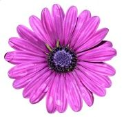 Purple Flower Digitally Printed Roller Blind