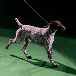 C. J., a German Shorthaired Pointer, Wins Best in Show at Westminster - NYTimes.com