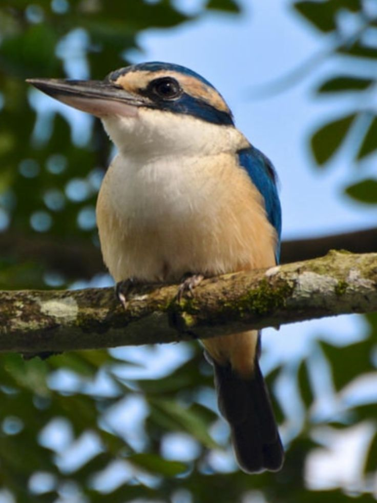 Pacific Kingfisher. (Todiramphus sacer) is a medium-sized kingfisher belonging to the subfamily Halcyoninae, the tree kingfishers. It has a wide range throughout the South Pacific islands.