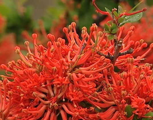The Notro, an indigenous plant of the south of Chile