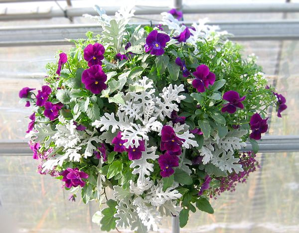 Plants for hanging baskets with dusty miller stunning - How to plant a flower garden for dummies ...